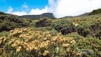 Bunga Edelweiss bertebaran di Tegal Alun.