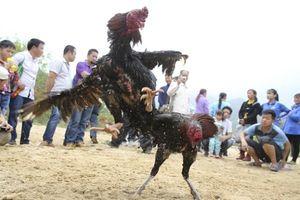 Kota di China Ini Pikat Turis Lewat Sabung Ayam