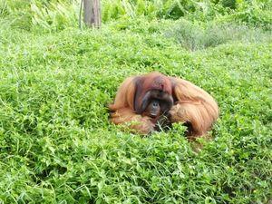 Potret Si Bujang, Orangutan yang Suka Perempuan