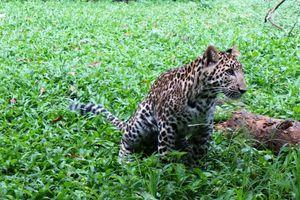 Bertemu Thaba, Bayi Macan Tutul Afrika yang Lucu di Prigen