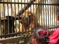 Singa, hewan yang paling ramai pengunjungnya