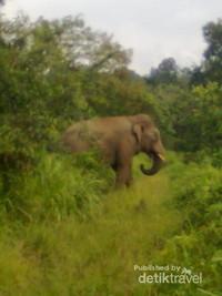 Gajah Liar di pedalaman Aceh Jaya