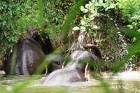 Gajah Sumatera di pedalaman Aceh Jaya