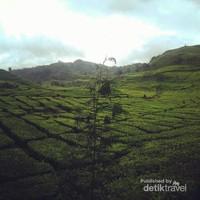 Hamparan kebun teh sejauh mata memandang