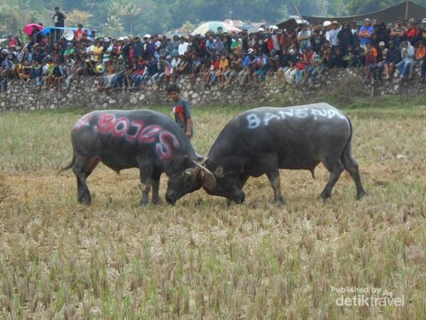 Mapusilaga Tedong atau Adu Kerbau merupakan salah satu acara adat Rambu Solok di Tana Toraja. Kalau kamu pernah lihat Adu Domba di Garut, kamu mesti lihat Adu Kerbau di Toraja.