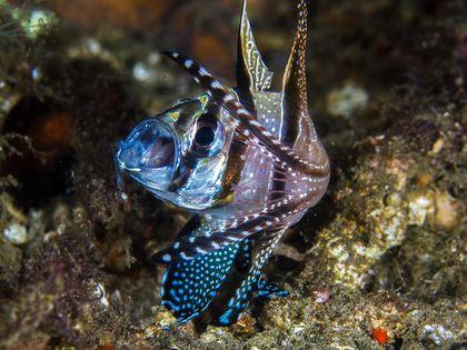 Hoooam ( cardinal fish )