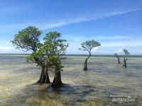 Keunikan tanaman mangrove yang tumbuh berjauhan