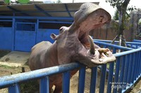 Kuda Nil