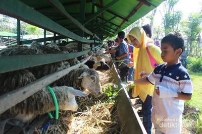 Wisata Peternakan di Aceh, Bisa Minum Susu Lho!
