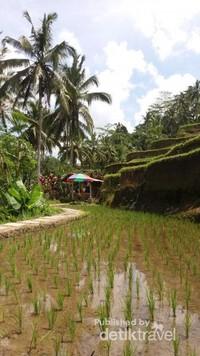 Padi-padi yang baru tumbuh, menghiasi persawahan di Tegallalang ini