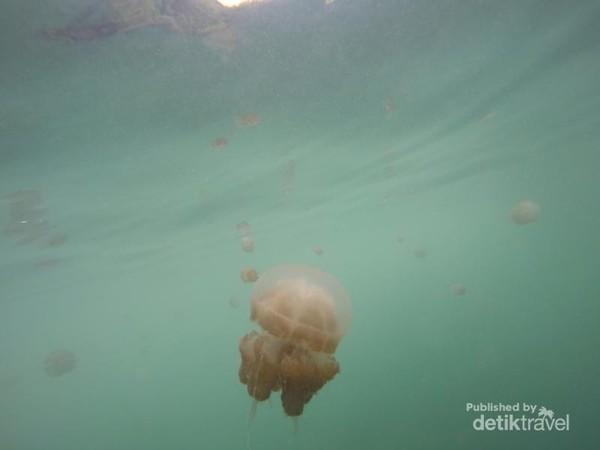 Setidaknya ada 3 jenis ubur-ubur yang bisa ditemukan di sini