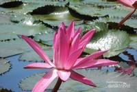 Teratai yang hidup di kolam dekat Patung Budha Tidur