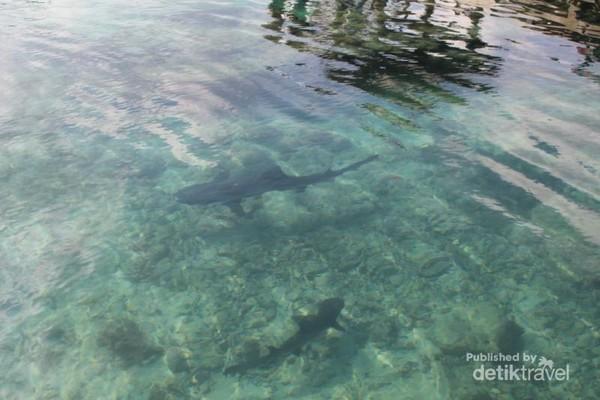Beberapa hiu yang berenang di kolam