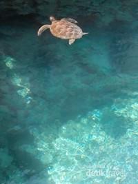 Kura-kura di Pulau Liukang Loe