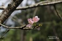 Bunga Sakura sangat identik dengan Jepang, karena merupakan bunga nasional dari Negeri Matahari Terbit itu. Tapi di Cibodas, kita juga bisa lihat sakura!