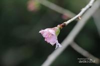 Meski ukurannya tidak sebesar di tempat asalnya, namun sakura disini tetap terlihat indah. Biasanya mekar saat Januari-Februari