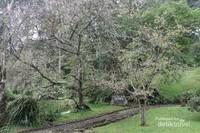 Pohon Sakura yang berada di dekat rumah kaca
