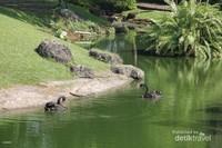 Angsa hitam sedang bermain di danau
