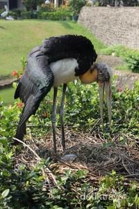 Burung Bangao Tongtong sedang menjaga anaknya