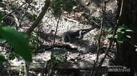 Komodo kecil sedang memakan sisa bangkai kambing