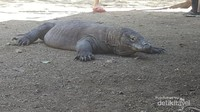 Komodo dewasa yang sedang beristirahat
