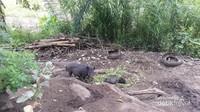 Babi hutan yang sedang menyantap hidangannya