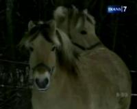 Hebatnya Kuda Norwegia