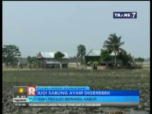 Puluhan Penjudi Sabung Ayam Kocar Kacir Digerebek Polisi