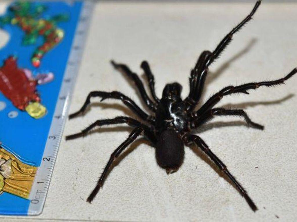 Digigit Laba-laba, Bocah 10 Tahun Perlu Dosis Besar Penawar Racun
