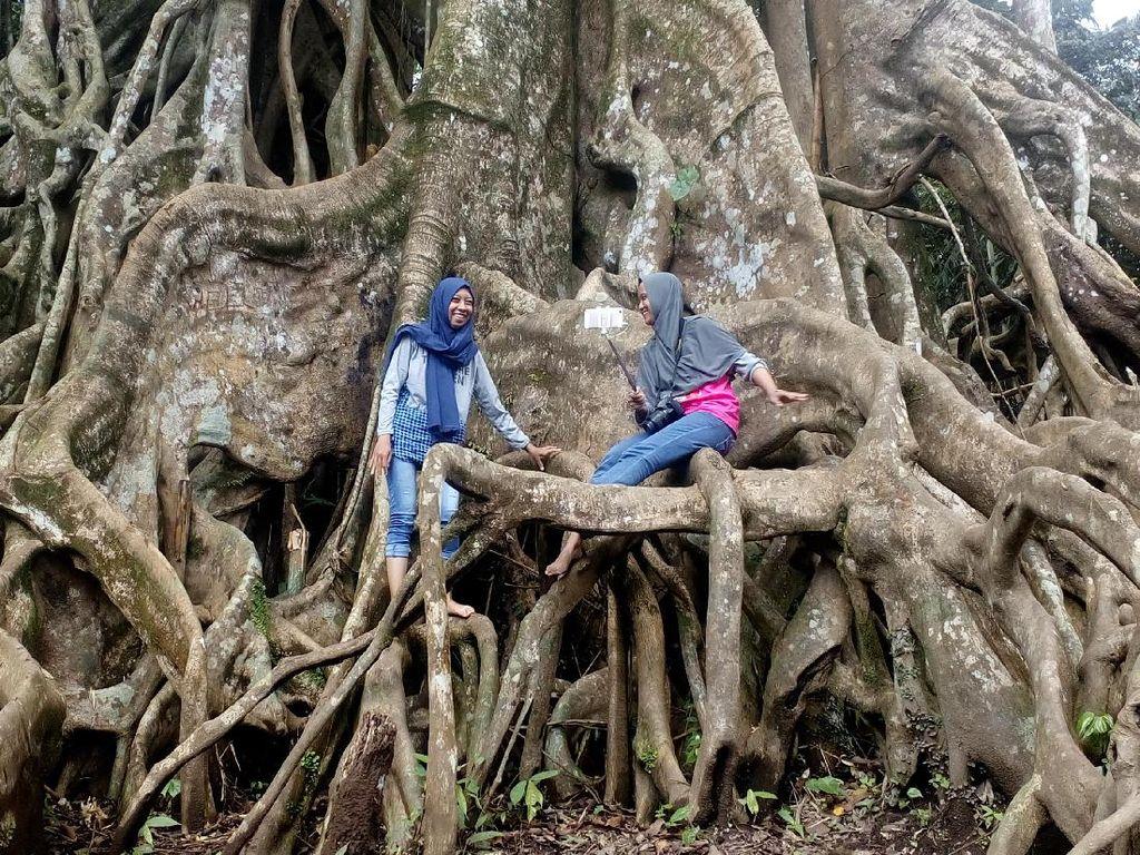 Pohon Akar Seribu yang Unik di Mojokerto