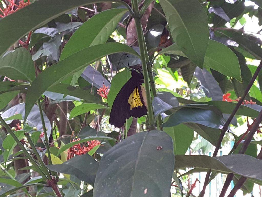 Wah, Ada Taman Kupu-kupu di Timika