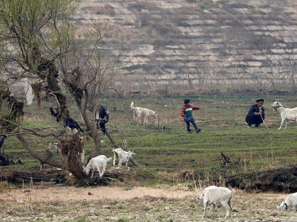 Seorang anak Korut sedang menarik kambing peliharaan keluarganya. Foto: Reuters