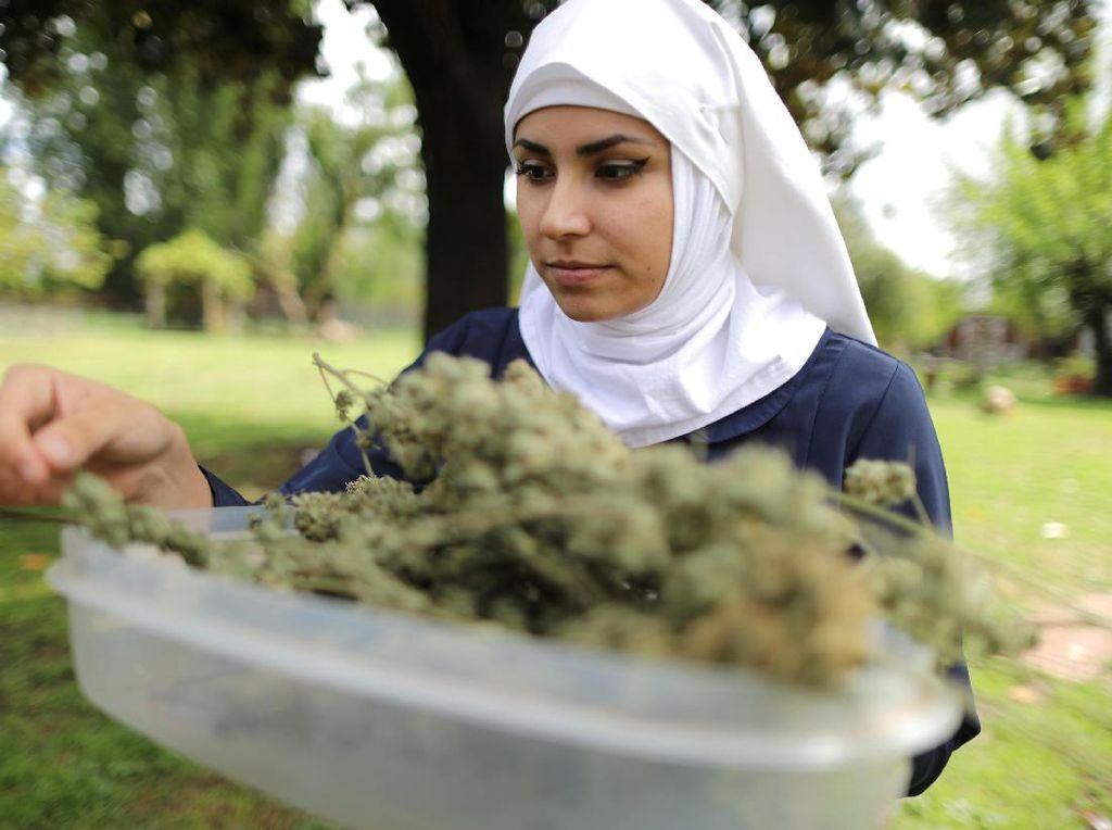 Seorang biarawati di dekat kota Merced, Valley, California, Amerika Serikat, tengah memilih daun ganja kering. REUTERS/Lucy Nicholson.
