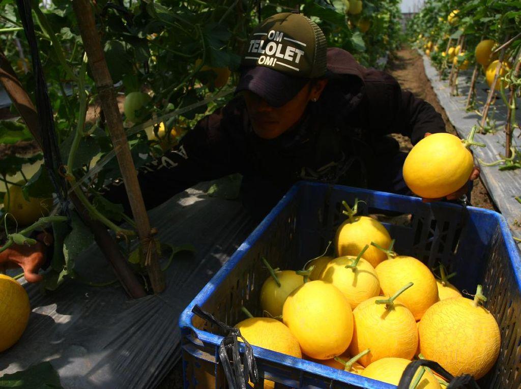 Panen Melon Petani Binaan