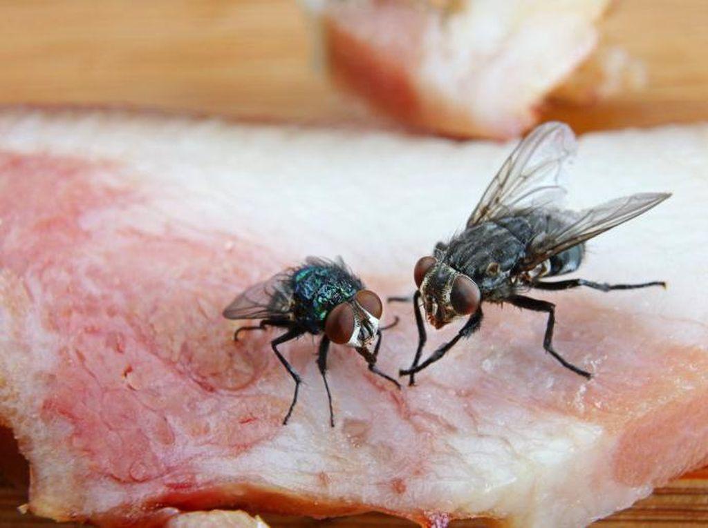 Sebaiknya Buang Makanan yang Dihinggapi Lalat, Ini Alasannya
