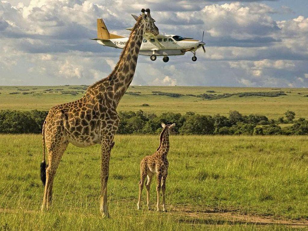 Duh! Pesawat kurang tinggi terbangnya, kena kepala jerapah deh. Karya fotografer Graeme Guy foto yang berlokasi di Kenya. (Foto: Comedy Wildlife Photography 2017)