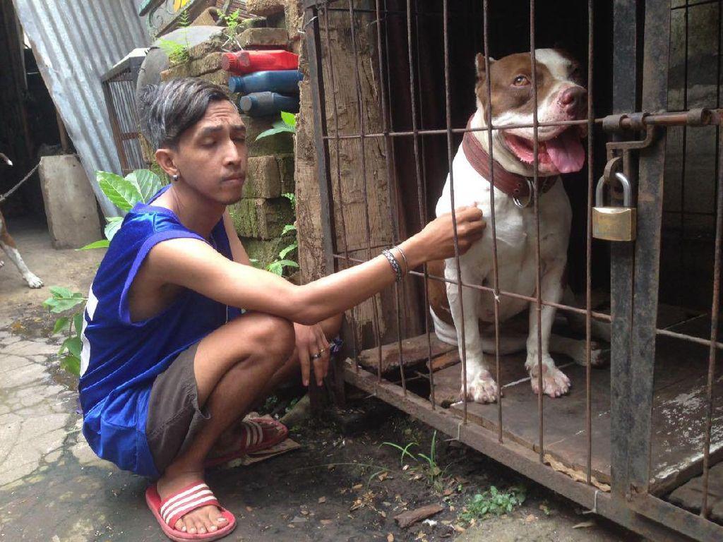 Seekor anjing pitbull mengigit bocah 8 tahun bernama Ramiza Bazigha sampai meninggal pada Minggu 6 Agustus 2017 di Malang. Anjing pitbull ini adalah peliharaan keluarga. Kejadian saat bocah ini ditinggal salat oleh neneknya (Muhammad Aminudin/detikcom)