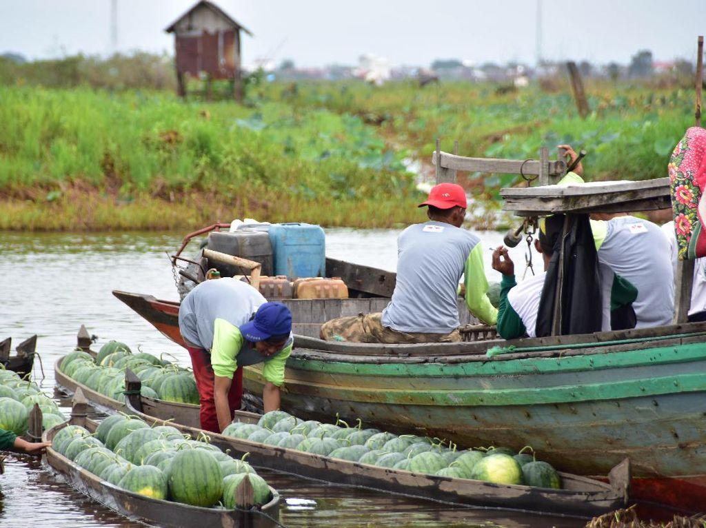 Meskipun kondisi iklim yang tak menentu, petani binaan PT East West Seed Indonesia (Ewindo) berhasil membudidayakan semangka Amara F1 di lahan rawa. Canggih yaaa... Foto: dok. Ewindo